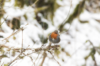 Photograph of a robin bird in the snow in winter in the woodlands