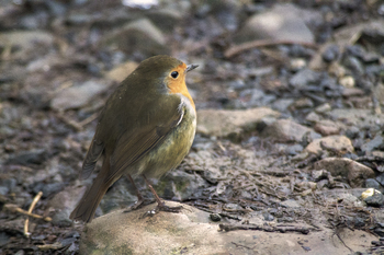 Photograph of a robin bird in winter in the woodlands