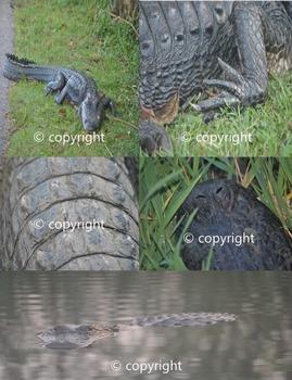 Photographs: Alligator
