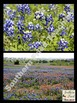 Texas Bluebonnets Photos