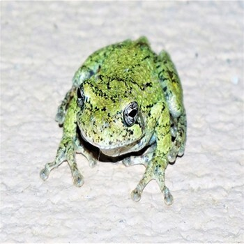 Speckled Frogs Stock Photos Amphibians Picture
