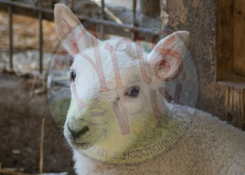 "Stock Photos - ""Farm Animals"" - photo pack BUNDLE - animals - Arts & Pix"