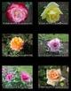Photos: Roses