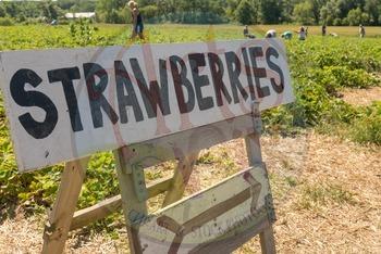 "Stock Photos - ""Strawberry Picking"" - Photographs - Strawberries - BUNDLE"