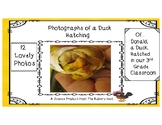 Photographs of Duck Hatching in a Third Grade Classroom