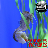 Photos 4 commercial use: SEAHORSES