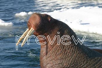 Photos Photographs ARCTIC - animals plants landscapes adaptations food chain
