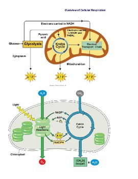 Photosynthesis & Cellular Resp organelle labeling page