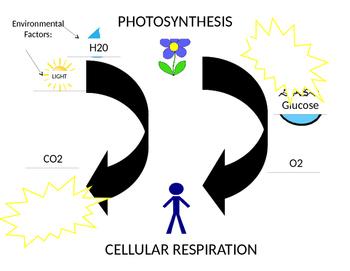 Photosynthesis/Cellular Respiration Poster