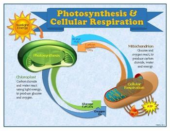 Photosynthesis & Cellular Respiration Poster