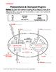 Photosynthesis & Chloroplast Diagram Labeling Worksheet