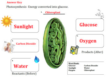 Photosynthesis Graphic Organizer