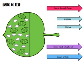 Photosynthesis: Leaf Model