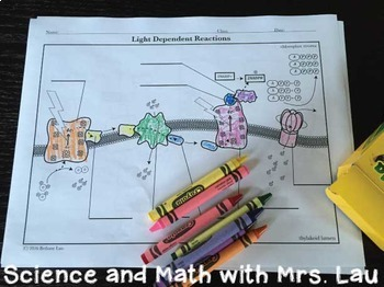 Photosynthesis and Respiration Coloring Activity Bundle for High School Biology