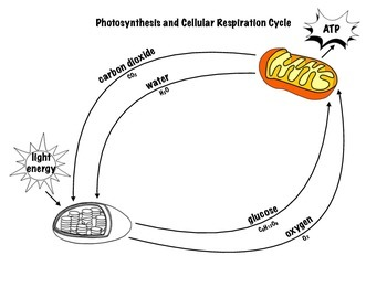 Photosynthesis and Cellular Respiration Cycle