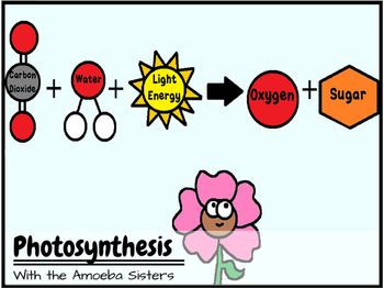 Photosynthesis and Cellular Respiration Recap Answer Key by The Amoeba Sisters
