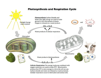 Photosynthesis and Respiration Processes - Graphic Organizers