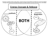 Photosynthesis vs Cellular Respiration Venn Diagram & Study Cards