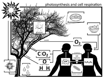 Photosythensis - Cell Respiration Graphic Diagram