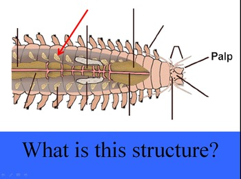 Phylum Annelida (Segmented Worms) Jeopardy Review PowerPoint