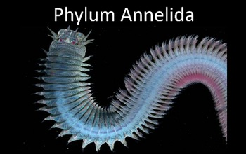 Phylum Annelida (Segmented Worms) Presentation PowerPoint