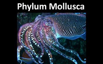 Phylum Mollusca (Snails, Clams, Octopuses, etc.) Presentation PowerPoint