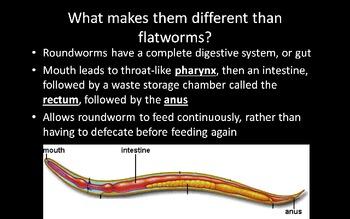 Phylum Nematoda (Roundworm) PowerPoint Presentation