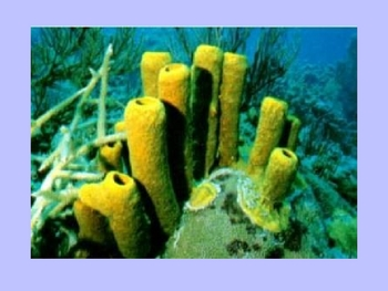 Phylum Porifera and Cnidaria Powerpoint