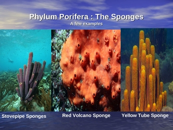 Phylum Porifera and Phylum Cnidaria Powerpoint Package