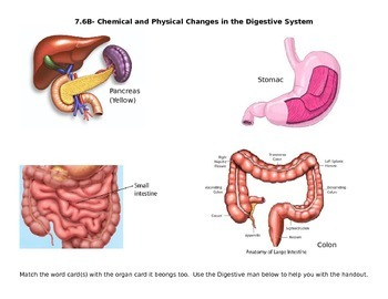 Physical/ Chemical Reactions in the Digestive System