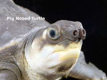 Pig Nosed Turtle - Power Point - Information Facts Pictures