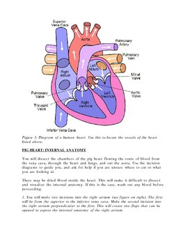Pig heart dissection guide