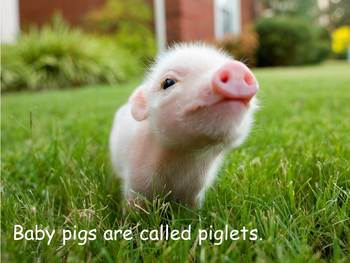 """Pigs Nonfiction PowerPoint """"Book"""" for First Grade (easier)"""