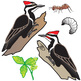 Pileated Woodpecker Life Cycle Clip Art Set