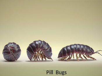 Pill Bug Roly Poly Powerpoint