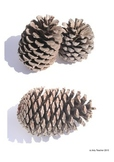 Pine Cone Drawing Project by Arty Teacher