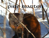 Pine Marten.....(photos for commercial use)