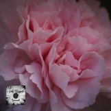 Pink Carnation 12x12 Photo Digital Background Paper