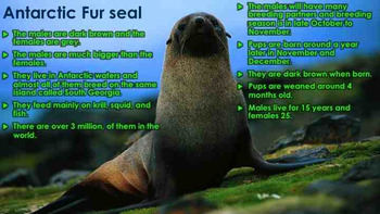 Seals, Sea Lions, and Walruses: Pinnipeds - PowerPoint & Activities