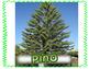 Pinos unidad no-ficcion  Pine Tree Nonfiction Spanish