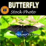 Pipevine Swallowtail Butterfly Stock Photos #279 and #280