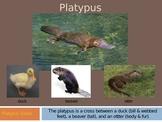 Plaidypus Lost Platypus Powerpoint