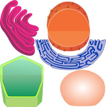 Plant Cell Parts Clip Art