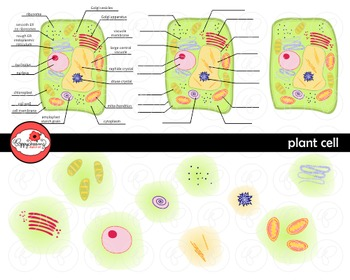 Plant Cell Science Diagram Clipart by Poppydreamz