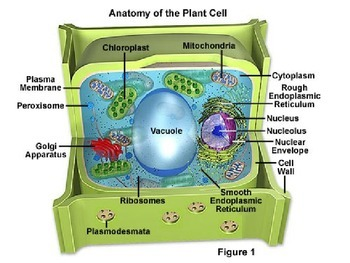 Plant Cell: The Photosynthetic Cell