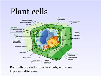Plant Cells and Photosynthesis