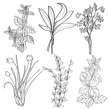 Plant Clip Art - 12 Piece Set - Color and Blackline Illustrations - Garden Herbs