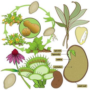 Plant Clip Art Bundle - Botany
