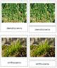 Plant Kingdom: Division Anthocerotophyta