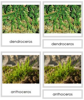 Plant Kingdom: Division Anthocerotophyta (color borders)
